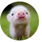 Poor Little Piggy